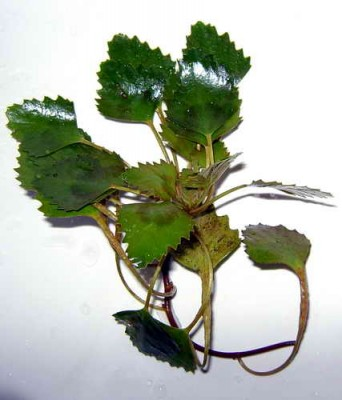 Аквариумные растения - опознание растений. - DSC010931.jpg