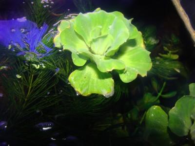 Аквариумные растения - опознание растений. - photobig.jpeg