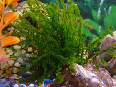 Аквариумные растения - опознание растений. - e0ed672fde1d.jpg