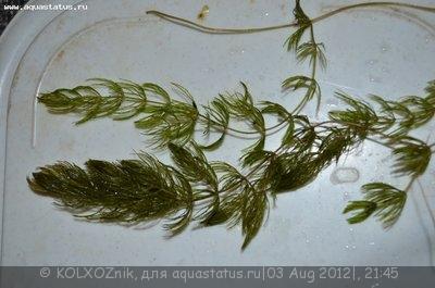 Аквариумные растения - опознание растений. - DSC_3488.JPG