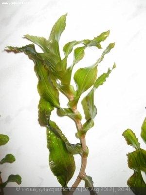Аквариумные растения - опознание растений. - IMG_3018.jpg
