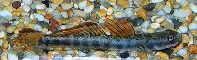 Помогите опознать рыбку опознание рыб  - 1agob.jpg