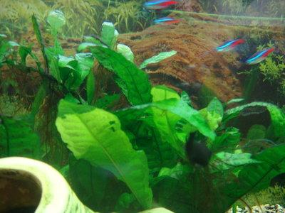 Плохо растет папоротник - Aquarium 184.jpg