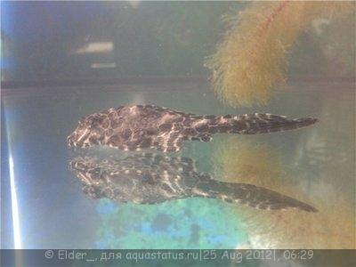 Помогите опознать рыбку опознание рыб  - 3f4498609686.jpg