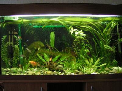 Мой барбусовый аквариум 180 литров Катя  - PICT8065.JPG