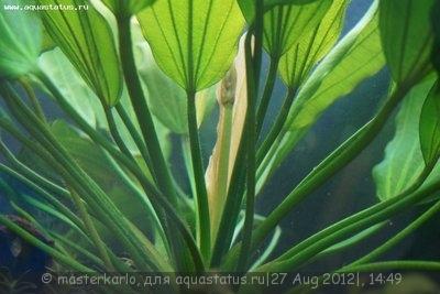 Чёрная борода в аквариуме - DSC05962.JPG