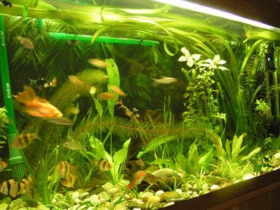 Мой барбусовый аквариум 180 литров Катя  - PICT8066.JPG