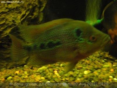 Помогите опознать рыбку опознание рыб  - P8300958.JPG