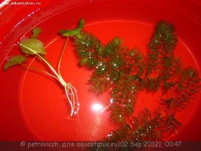 Аквариумные растения - опознание растений. - из речки.jpg