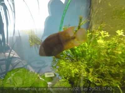 Помогите опознать рыбку опознание рыб  - DSC00292.JPG