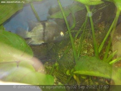 Помогите опознать рыбку опознание рыб  - DSC00298.JPG