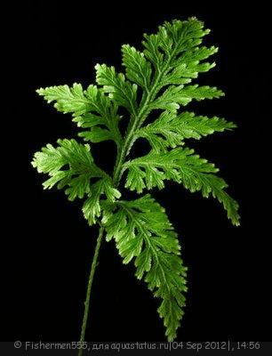 Аквариумные растения - опознание растений. - 12769493263100441.jpg