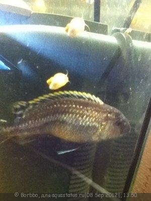 Помогите опознать рыбку опознание рыб  - IMG_0051.JPG