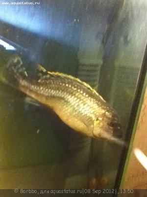 Помогите опознать рыбку опознание рыб  - IMG_0048.JPG