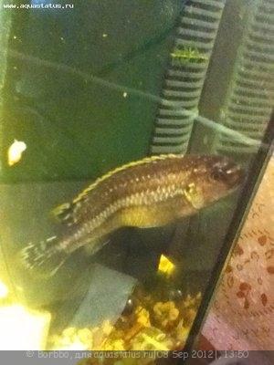 Помогите опознать рыбку опознание рыб  - IMG_0047.JPG