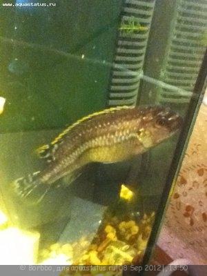Помогите опознать рыбку опознание рыб  - IMG_0046.JPG