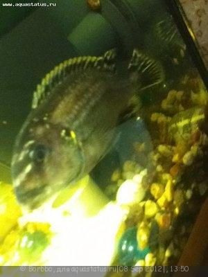 Помогите опознать рыбку опознание рыб  - IMG_0043.JPG