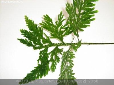 Аквариумные растения - опознание растений. - aqa.ru-20090326095213.jpg