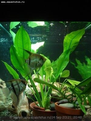 Аквариумные растения - опознание растений. - DSC03331.JPG