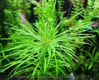 Аквариумные растения - опознание растений. - DSC03745.JPG