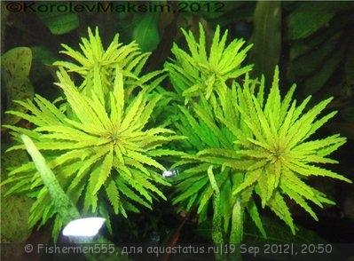 Аквариумные растения - опознание растений. - eb3019e2444b.jpg