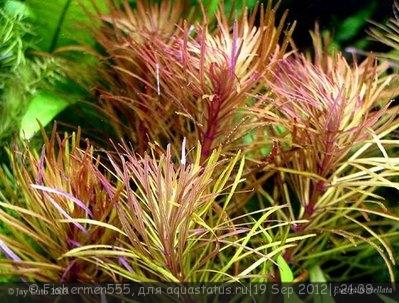 Аквариумные растения - опознание растений. - 128474950406005844.jpg