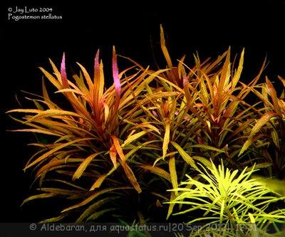 Опознание аквариумных растений - pogostemon_stellatus.jpg
