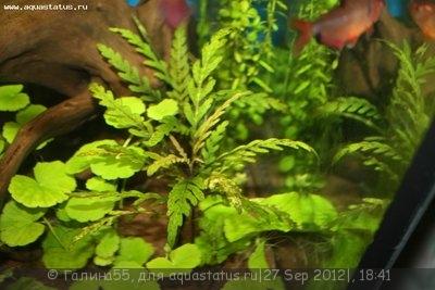 Аквариумные растения - опознание растений. - IMG_4334.JPG