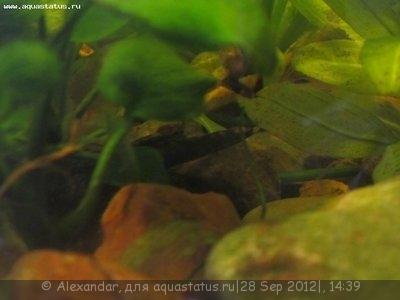 Помогите опознать рыбку опознание рыб  - IMG_0790.JPG