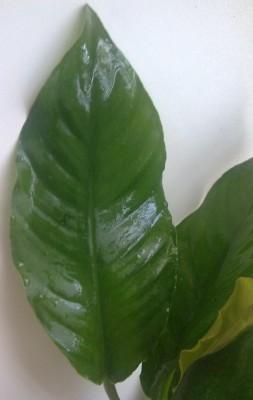 Аквариумные растения - опознание растений. - 23062010471.jpg