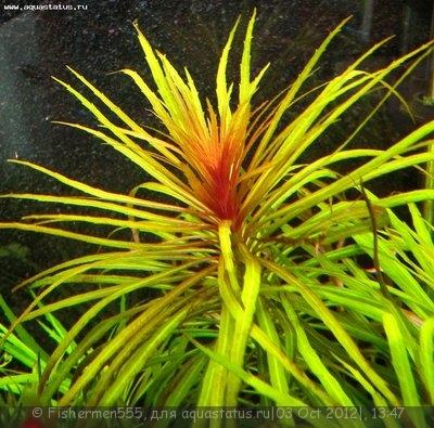 Аквариумные растения - опознание растений. - IMG_2989.jpg