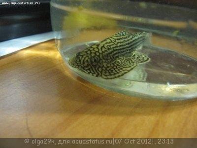 Помогите опознать рыбку опознание рыб  - IMG_0030.JPG