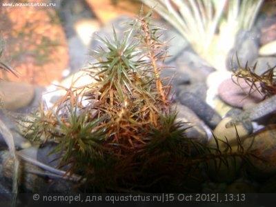 Аквариумные растения - опознание растений. - лесной мох3.JPG
