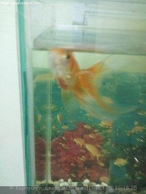 Золотая рыбка покраснела - Фото750.jpg