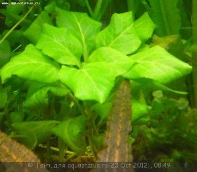 Аквариумные растения - опознание растений. - 1.jpg