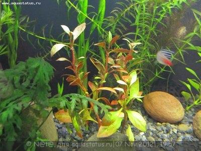 Опознание аквариумных растений - IMG_3763.JPG