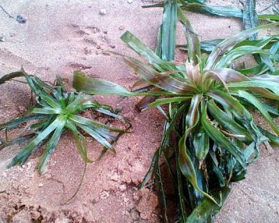 Аквариумные растения - опознание растений. - 004.jpg