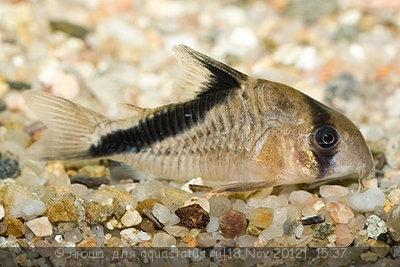 Коридорас диагональнополосый Corydoras Melini  - corydoras-melini-copcu-baligi.jpg