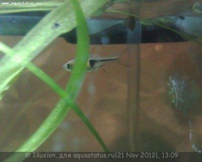 Помогите опознать рыбку опознание рыб  - 21112012317.jpg