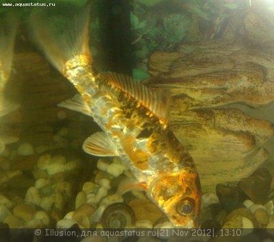 Помогите опознать рыбку опознание рыб  - 21112012324.jpg