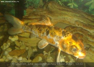Помогите опознать рыбку опознание рыб  - 21112012327.jpg