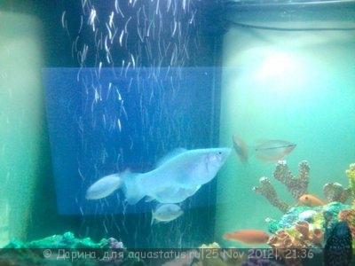 Помогите опознать рыбку опознание рыб  - Фотография 2012-11-25 в 19.17.jpg