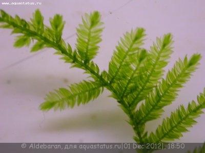Аквариумные растения - опознание растений. - DSCN8563.JPG