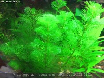 Опознание аквариумных растений - IMG_3279.JPG