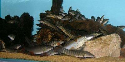 Боции в аквариуме - DSCN0758.jpg