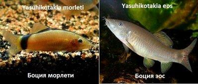 Боции в аквариуме - Yasuhikotakia morleti 10ттт.jpg