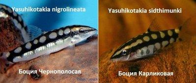 Боции в аквариуме - image_mediumб.jpg