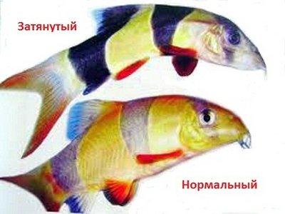 Боции в аквариуме - 21722_485032751518959_1569297098_nьщ.jpg