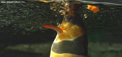Боции в аквариуме - 3588546650_7b77f9a261_o.jpg