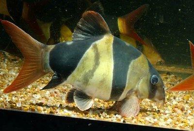 Боции в аквариуме - 4348454938_b0cb2c2ab7_o.jpg